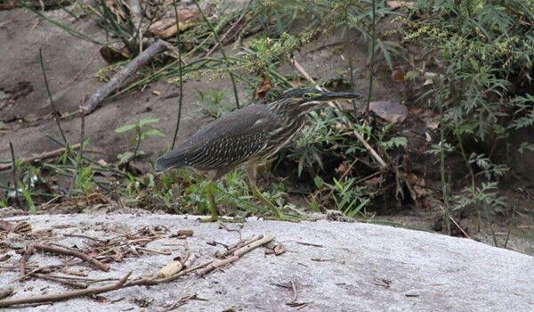 看起来灰扑扑但却不一般 唐家河保护区首次发现绿鹭踪迹