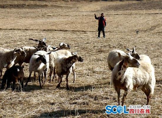 迫尔吉在赶羊。