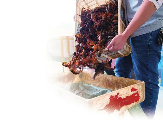 南溪小龙虾交易市场里,工人正在分拣包装小龙虾。