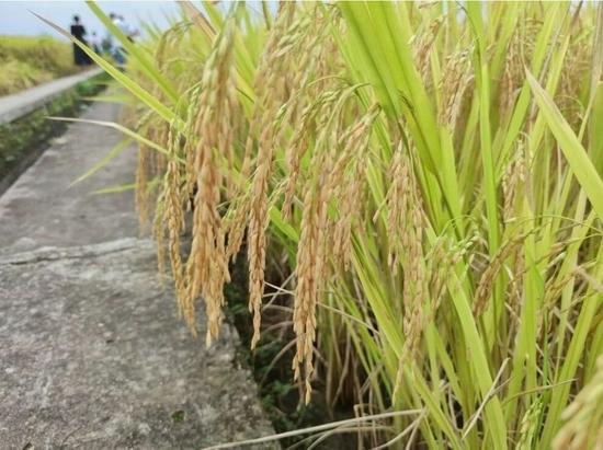 """丰收节特写:四川这样""""炼""""成水稻主产省"""