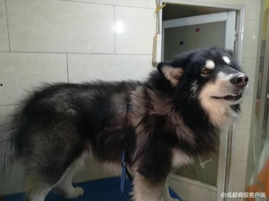 宠物美容师给阿拉斯加犬洗澡被咬伤眼睛失明 记者探访当事宠物