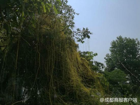 泸州城区景观树挂满绿瀑竟是植物吸血鬼 要干掉它需火烧深埋