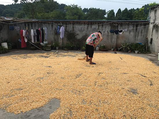 张军老家的院坝里,铺满了玉米。 本文图片均为 澎湃新闻记者 王鑫 图