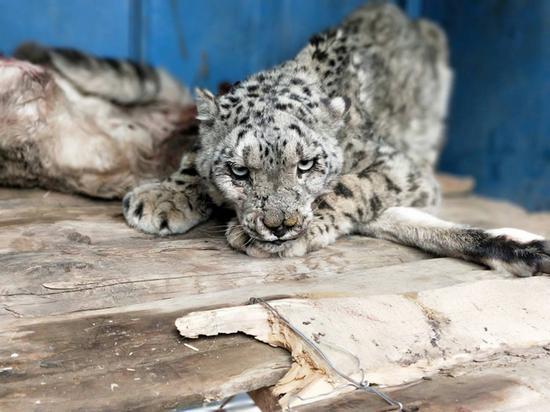石渠又双叒叕发现并救治雪豹
