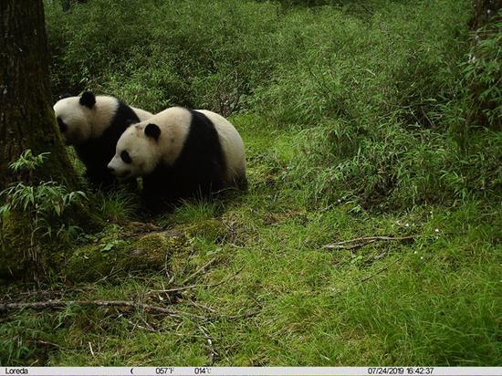 双倍可爱!卧龙首次拍到野生大熊猫亚成体双胞胎