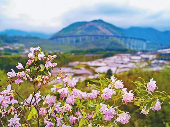 """四川深山""""映山红""""为何成为西方植物园的宠儿?"""