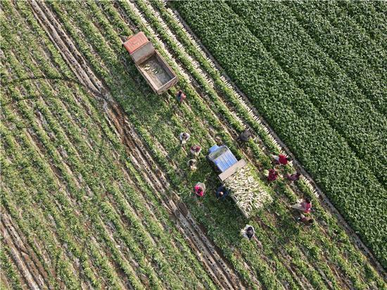 遂宁市船山区老池镇万亩蔬菜基地 让土地生金 带群众致富