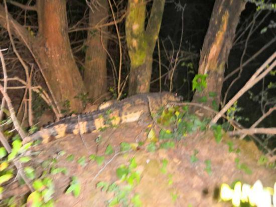 四川广元山林间惊现一只鳄鱼乱窜。