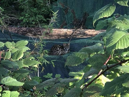 瓦屋山首次发现国家二级重点保护野生动物豹猫