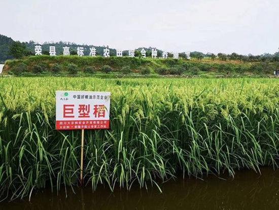 北稻南移 荣县试验种植的北方水稻亩产将达500公斤