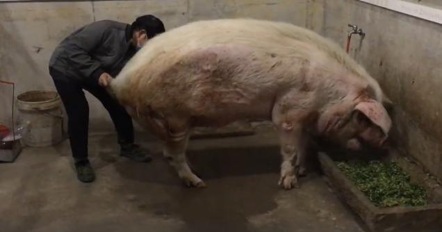猪坚强去年12月的状况