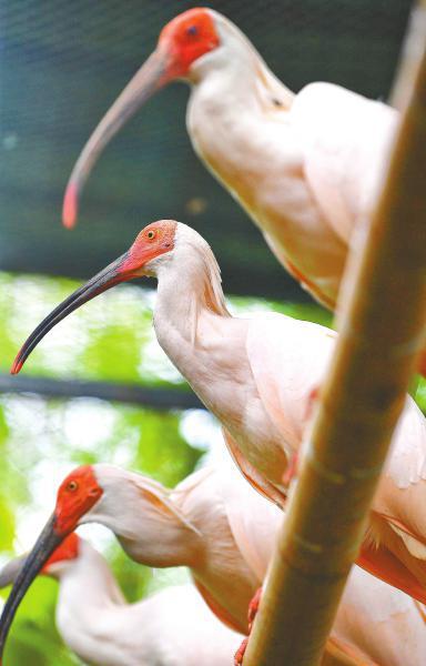 经过几年的繁衍,在川朱鹮的种群数正逐步扩大。