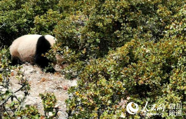 四川小金县村民发现野生大熊猫 逗留两小时后返回森林