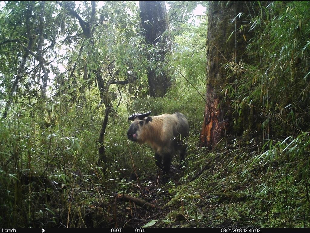 大熊猫国家公园蜂桶寨片区内拍到的四川羚牛(大熊猫国家公园管理局供图)