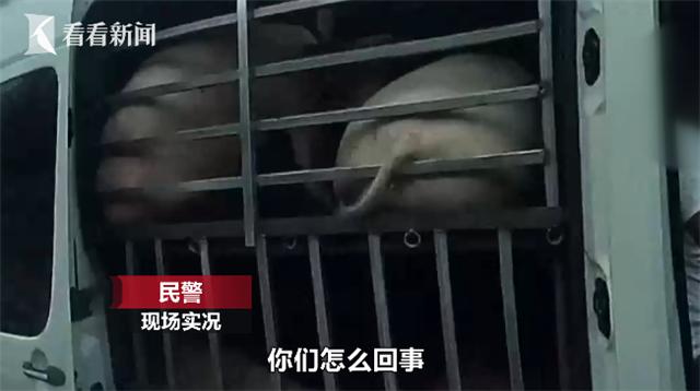 4辆7座商务车竟拉了79头猪 司机改装贩运被查处
