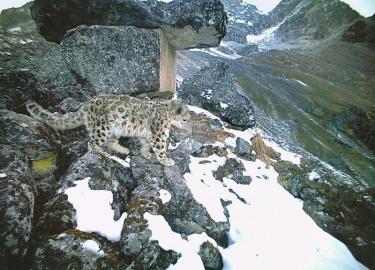 红外触发相机拍摄的雪豹(2016年12月30日)。