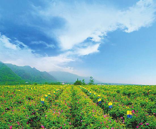 中国玫瑰谷8000亩大马士革玫瑰花田。(德阳市农业局供图)