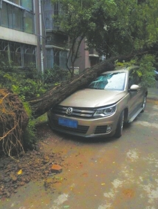 成都大风吹倒大树,砸中小区停放的车辆。图据新浪四川