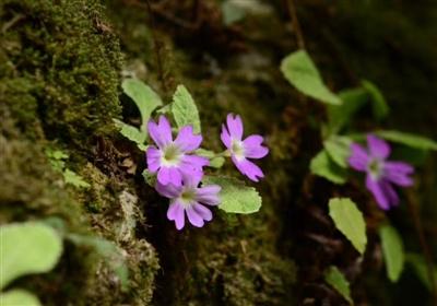 发现四年后被确认为新物种:彭州报春
