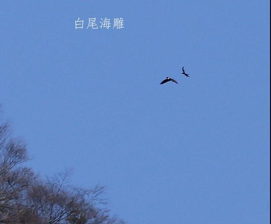 少见!四川唐家河首次记录到两只白尾海雕同框