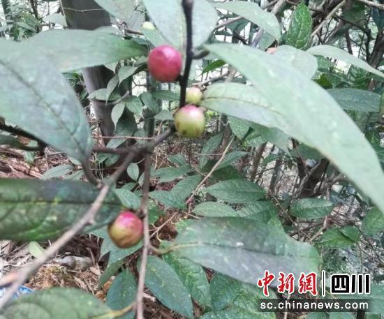 """濒危野生植物""""小黄花茶""""正含苞待放。涂为熙 摄"""