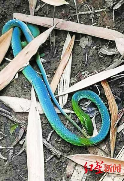 ↑网友晒图:绿头蓝身蛇。
