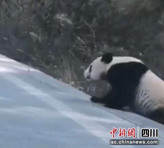 """雅安宝兴民众偶遇野生大熊猫下山在公路上""""遛弯儿"""""""
