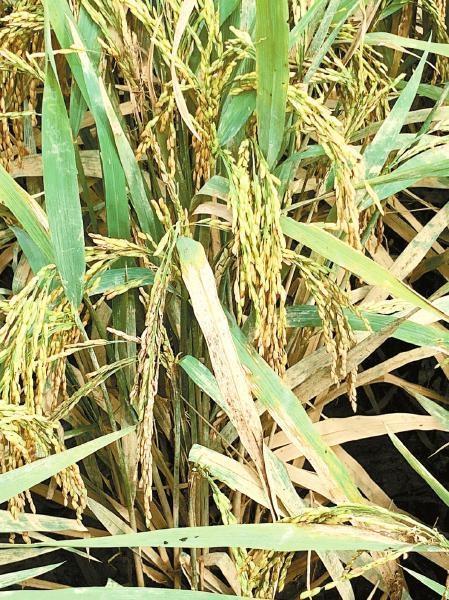 毗邻地块,水稻也变得枯黄。