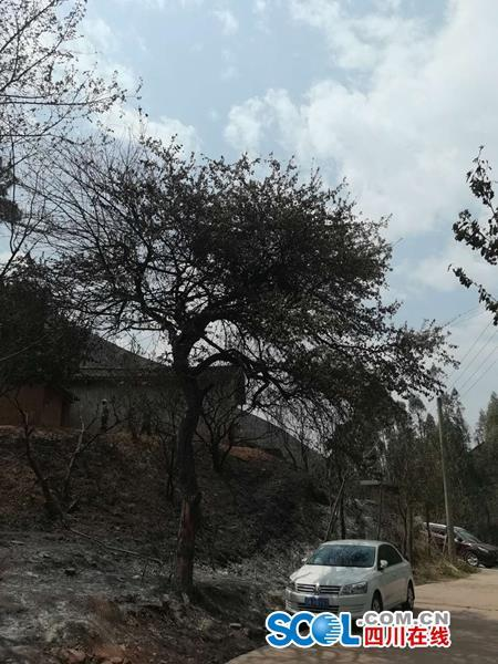 村民段朝福家门口一棵被火烧过的大树