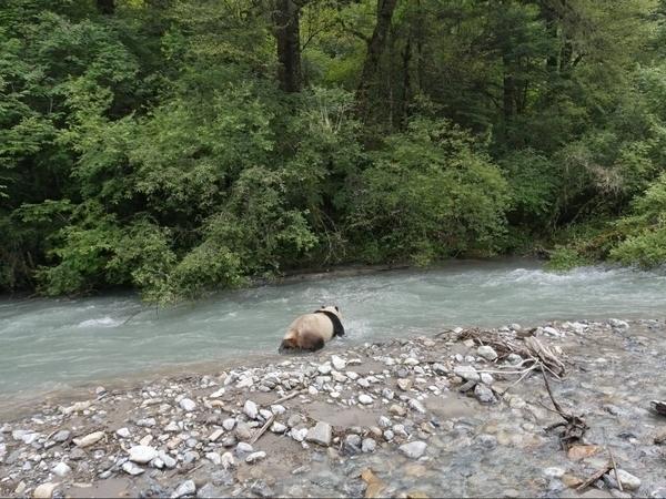 四川王朗:大熊猫横穿公路 还跳下河洗了个澡