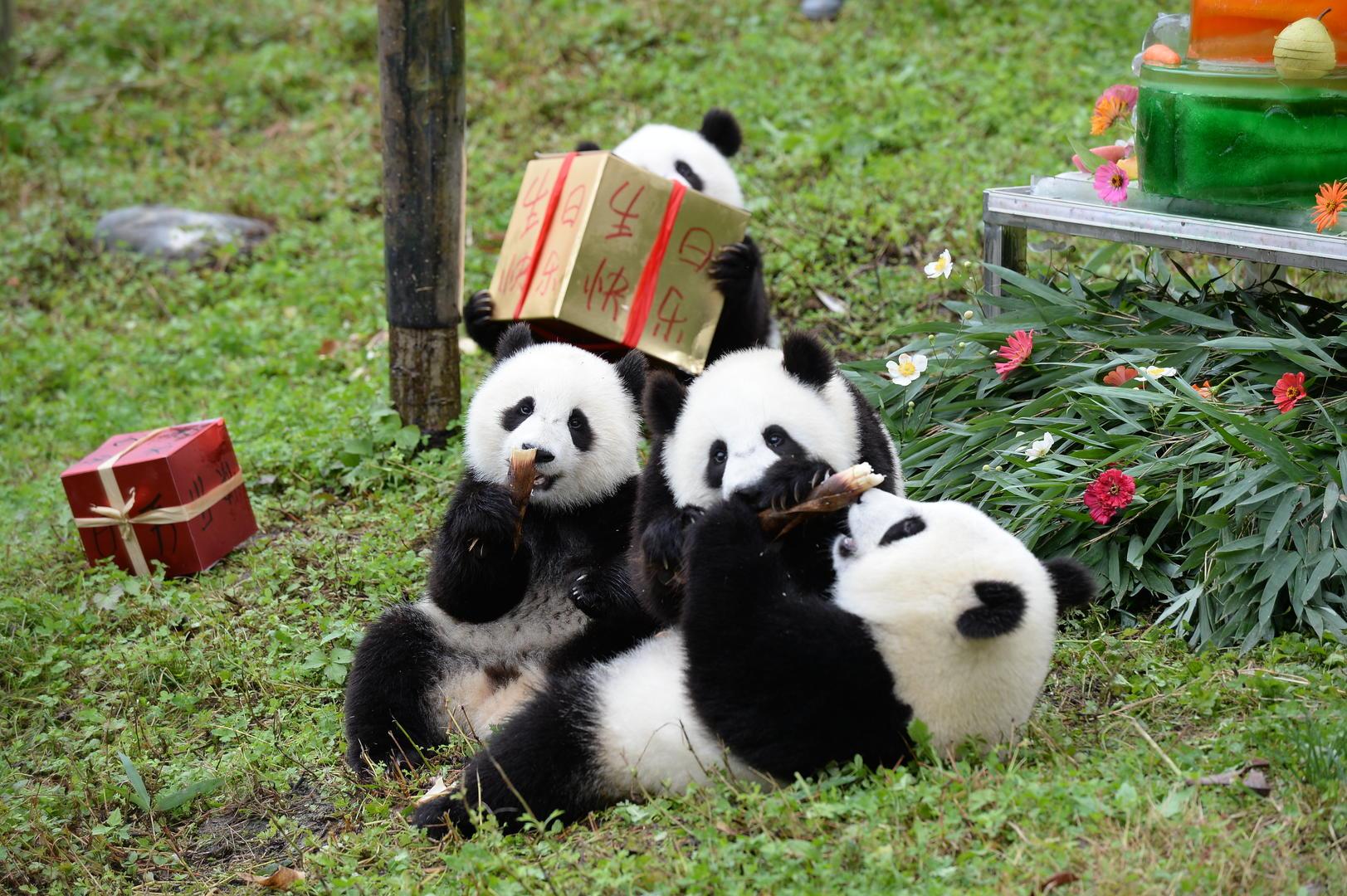 """乘专机抵达成都 旅加大熊猫""""大毛""""和""""二顺""""回家"""