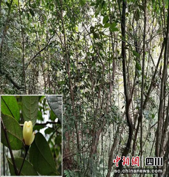 """濒危野生植物""""小黄花茶""""生长群。涂为熙 摄"""
