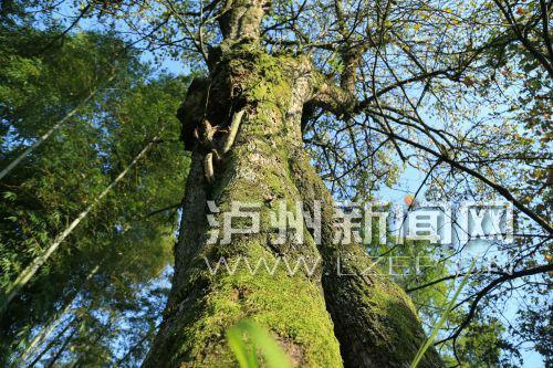 合江本土文化爱好者何开明在友人的陪伴下,来到老梨树所在地进行拍摄、考察 ,记录下老梨树伟岸的身姿