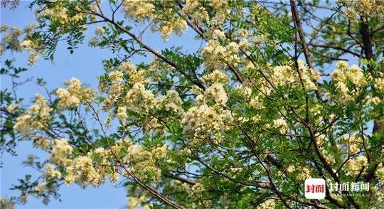 四月的成都街头总能看到洋槐树的身影