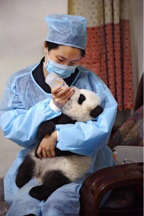 """然而,我辈岂是卖萌者,我大熊猫曾经建国立业,""""熊""""霸天下"""