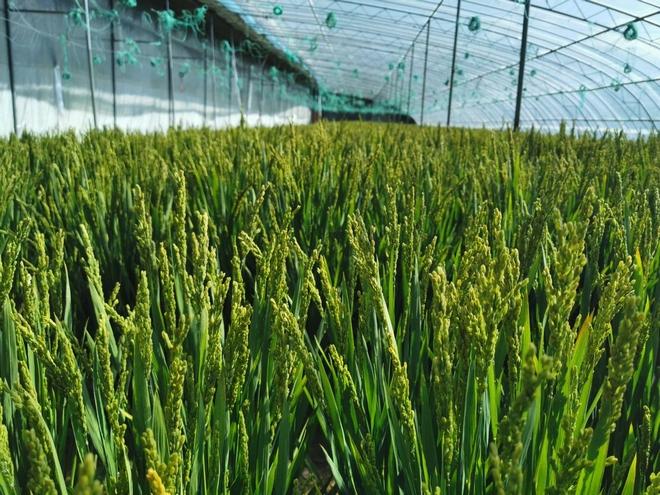 海拔3600米的世界高城理塘 成功试种出稻谷