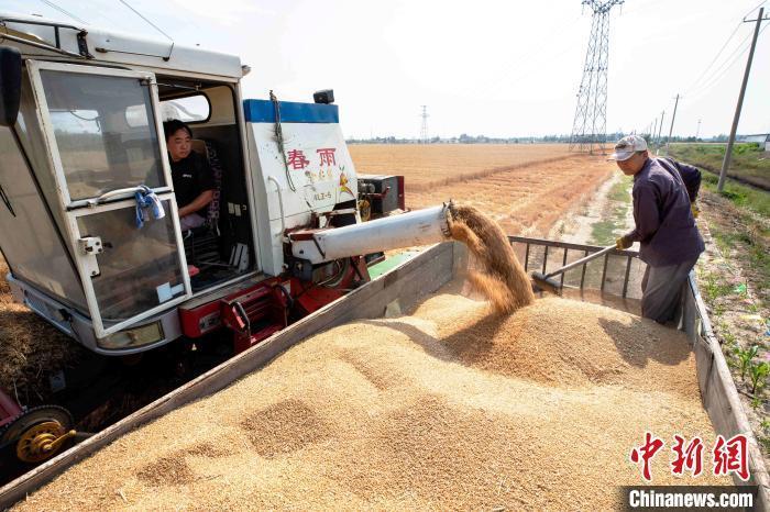 资料图:2020年小麦丰收场景。 陈鹏 摄