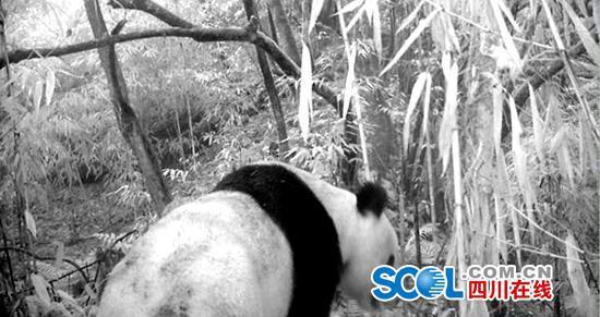 天全县二郎山林场1年14次记录下野生大熊猫萌照