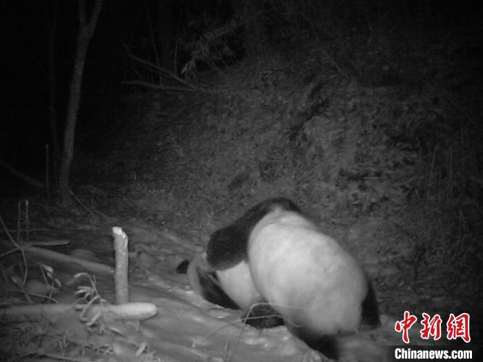 四川野生大熊猫打斗挂彩 专家称系争夺配偶或求爱受阻
