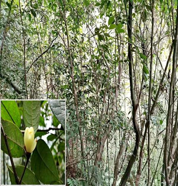 """宜宾长宁发现濒危野生植物""""小黄花茶""""生长群"""
