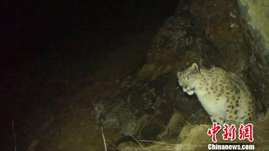 红外相机拍摄到的雪豹影像。 卧龙保护区供图