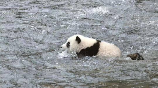圈养大熊猫有必要野化放归吗 专家:滚滚真正的家在野外