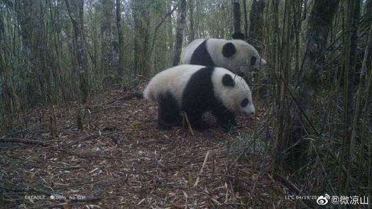四川美姑拍到野生大熊猫照片 母子同框出镜