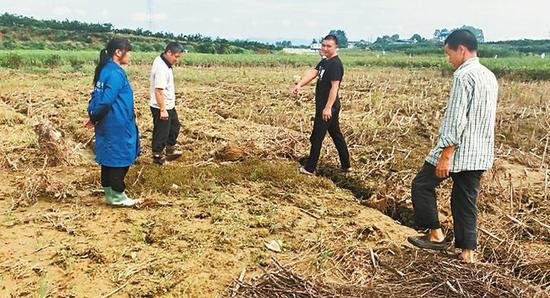 村民带领记者来到一处被污染的水稻田,水退去后,这里的水稻绝收。