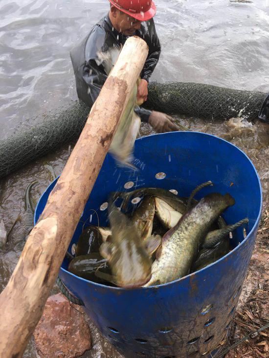 乐山市中区白马镇六百多万斤鱼滞销 养殖户盼援助