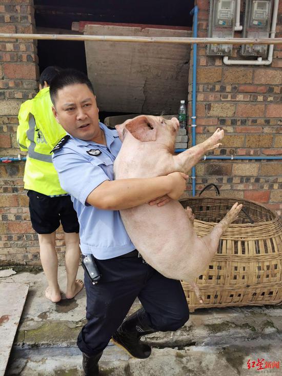 民警刘洋帮村民抱猪上楼