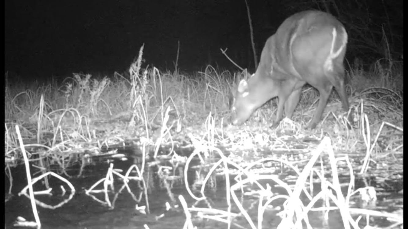 ▲同一台红外相机在晚间再次拍下毛冠鹿觅食的画面