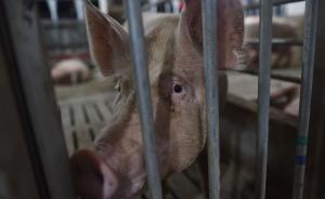 农业部:非洲猪瘟对元旦春节猪肉供应影响有限 涨价空间不大