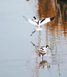 1月8日,嘉陵江全面禁渔后,阆中古城湿地迎来了更多鸟类栖息。  王玉贵 摄(视觉四川)