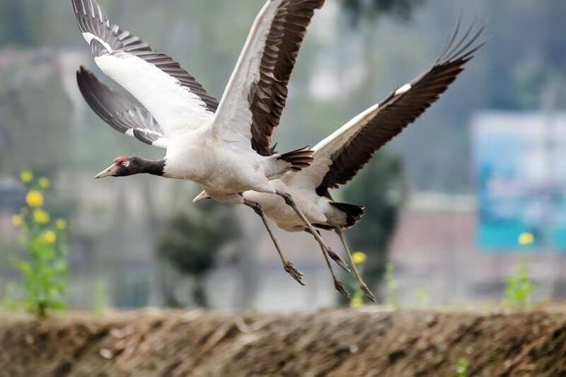 四川天全:国家一级保护动物黑颈鹤成群出现
